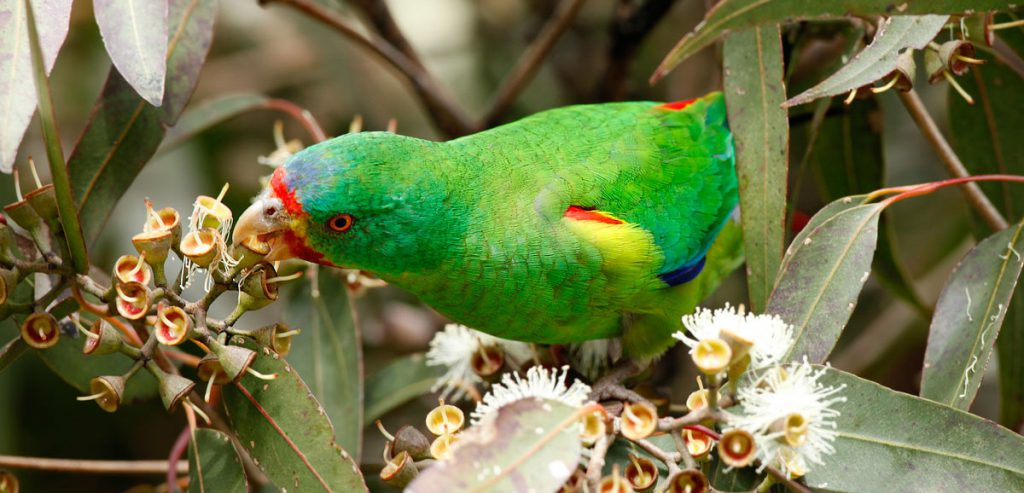 Endangered swift parrots